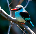 Blue-Breasted Kingfisher ll