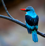 Blue-Breasted Kingfisher lll