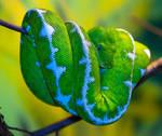 Emerald Tree Boa ll