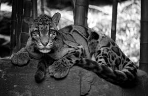 Clouded Leopard by deseonocturno