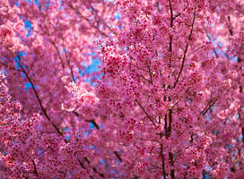 Pink Flowers by deseonocturno