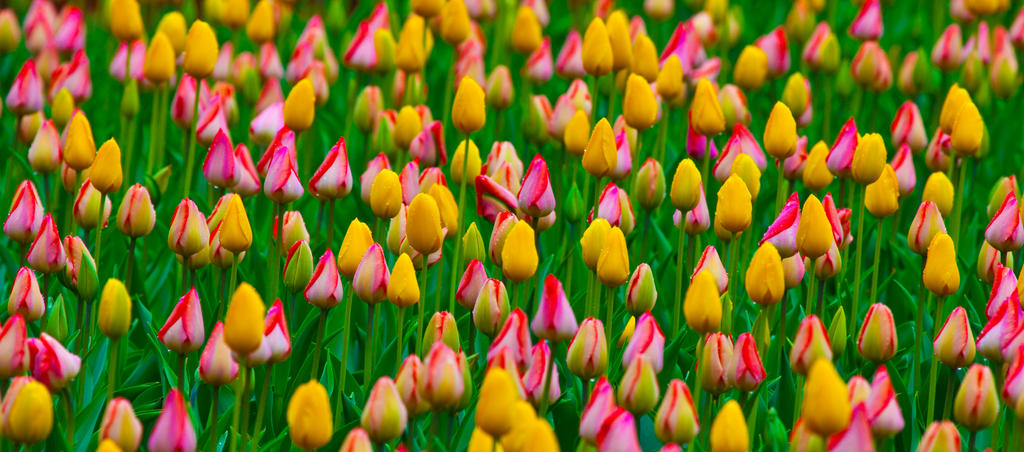 Tulip Bulbs by deseonocturno
