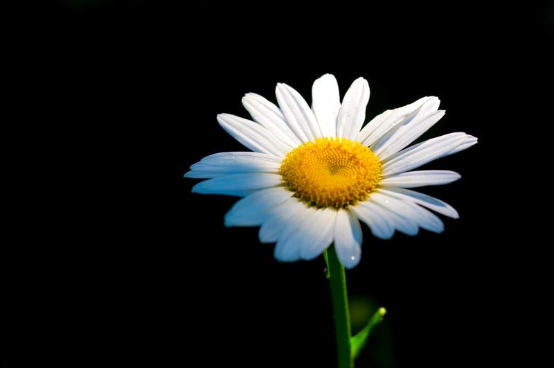 Daisy by deseonocturno