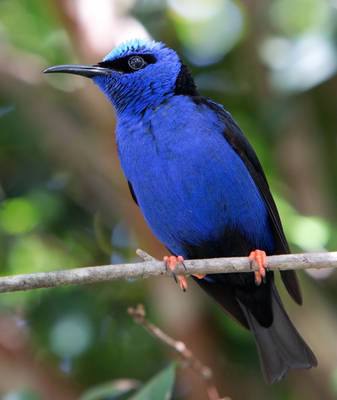 Red-legged Honeycreeper ll by deseonocturno