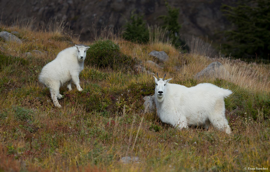 Mountain Goats by deseonocturno