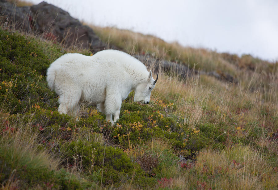Mountain goat by deseonocturno