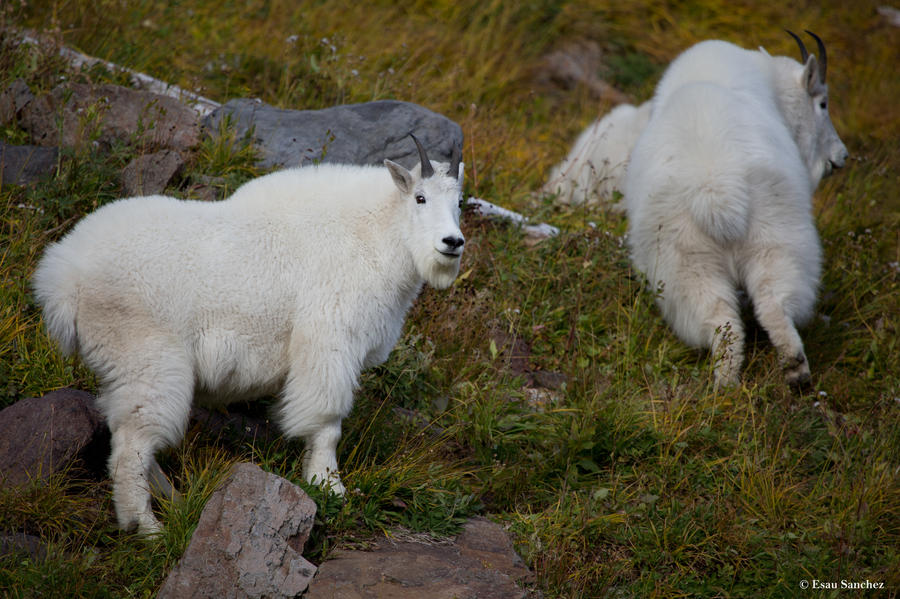 Mountain goats ll by deseonocturno