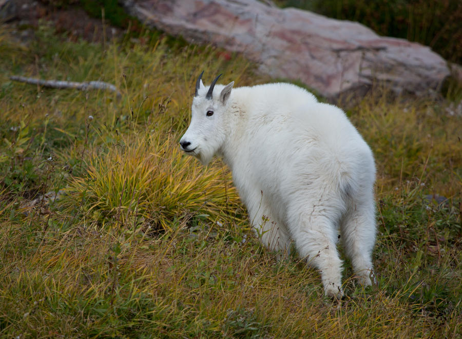 Mountain goat ll by deseonocturno
