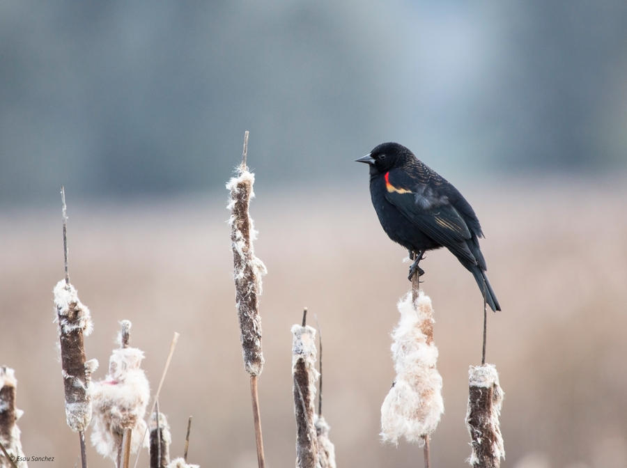 Red-winged Blackbird V by deseonocturno