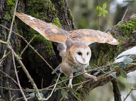 Barn Owl by deseonocturno