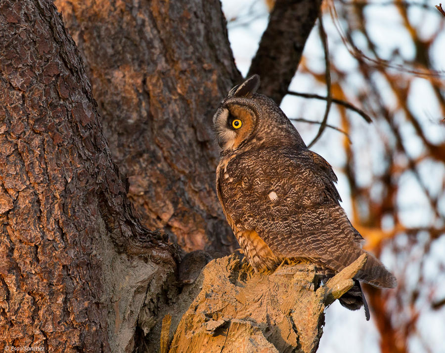 Long-eared owl and Vole by deseonocturno