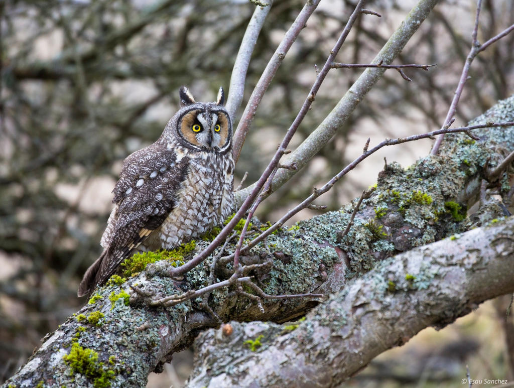 Long-eared Owl lll by deseonocturno
