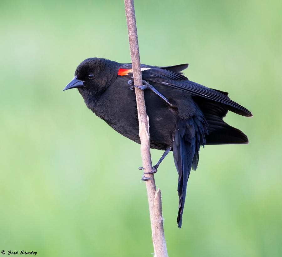 Red-winged Blackbird X by deseonocturno