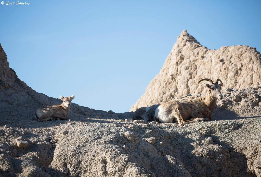 Bighorn Sheep by deseonocturno