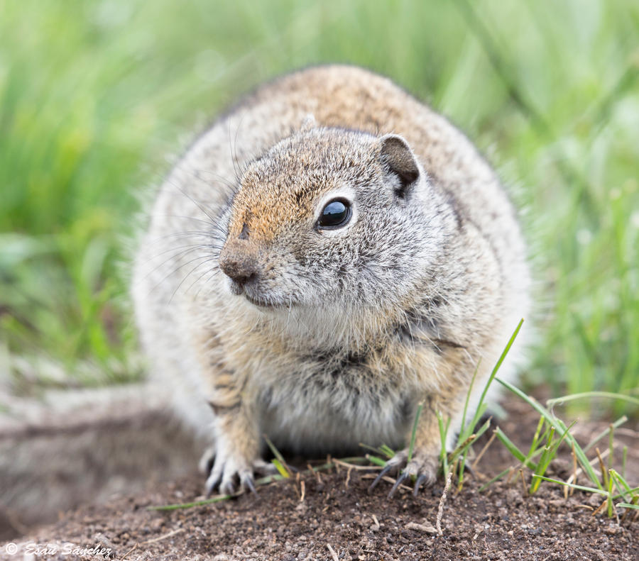 Ground squirrel by deseonocturno