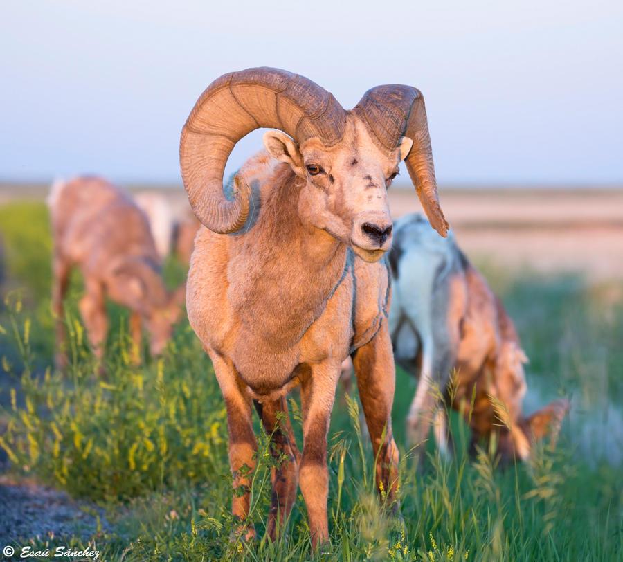 Bighorn Ram by deseonocturno