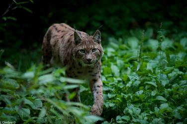 Lynx walk by LOmbre24