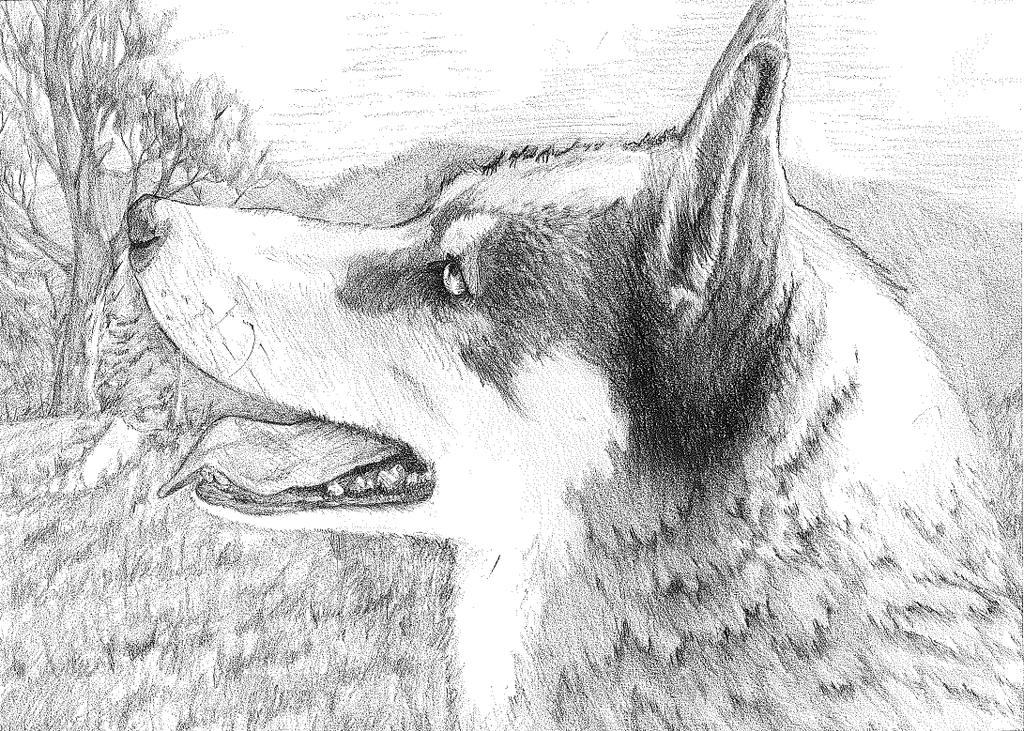 Husky by bwerecat