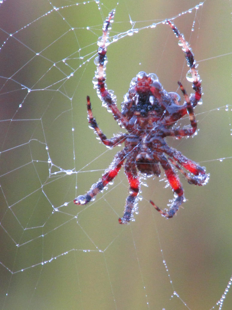 Spider With Morning Dew Drops-Decatur-IN-9-17-14 by Leannnorrisbond