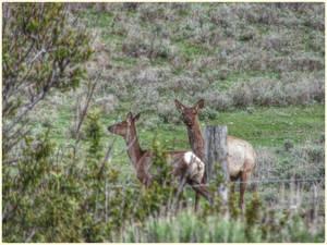 Watchful Young  Elk