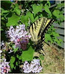 Tiger Swallowtail In Lilacs