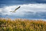 Flight of a Seagul by jViks