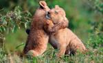 hug lions