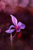 Purple Saffron by victoria-P