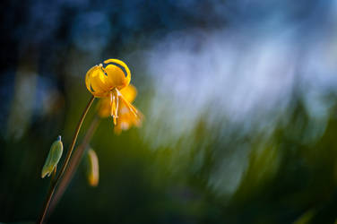 Yellow Fawn-lily in the evening by victoria-P