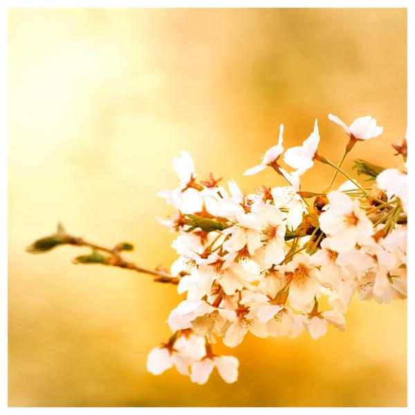 golden sakura by jyoujo