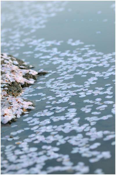 Naturalement Best - Page 4 Sakura_sea_breeze_by_jyoujo