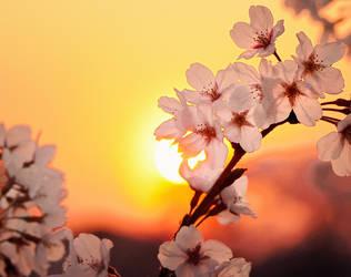 sunny sakura by jyoujo