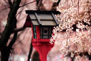 sakura blossom storm