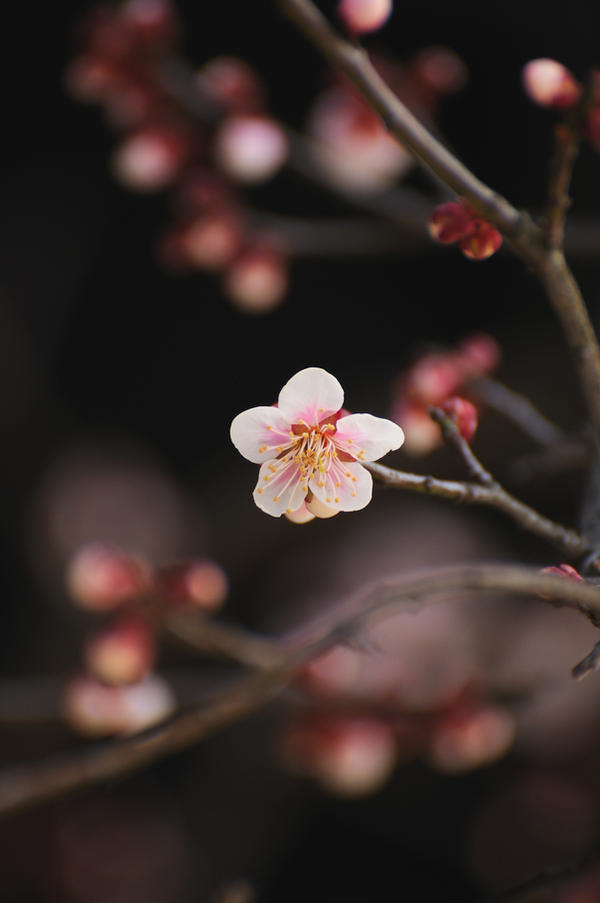 a plum blossom by jyoujo