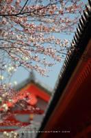 sakura in Kyoto by jyoujo