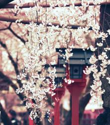 falling sakura by jyoujo