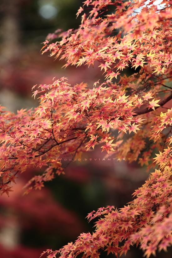 Acer palmatum by jyoujo