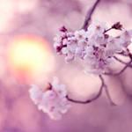 sakura f perfect by jyoujo