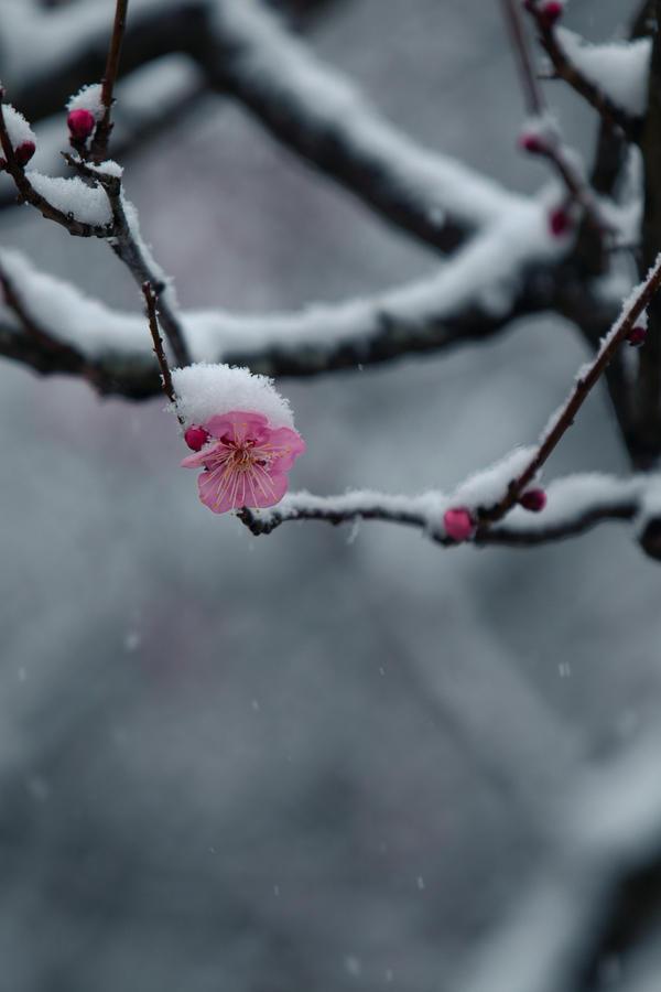 Όμορφες εικόνες... Plum__s_winter_breeze_by_jyoujo-d3aciho