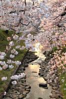 sakura kawa paths by jyoujo