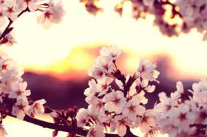 cherry blossom sunset by jyoujo