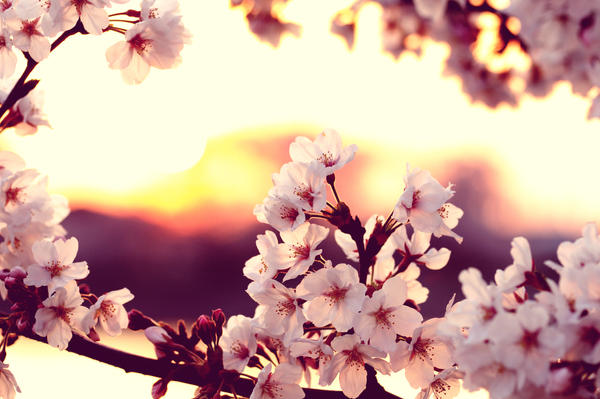 Cherry blossom sunset by jyoujo on deviantart Cherry blossom pictures