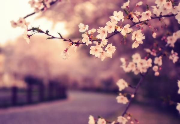 sakura's rising sun by jyoujo