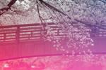 last dance - cherry blossoms