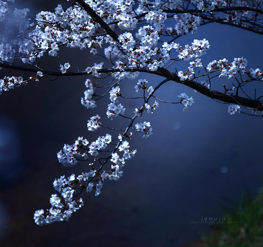 cherry blossoms down by the river by jyoujo