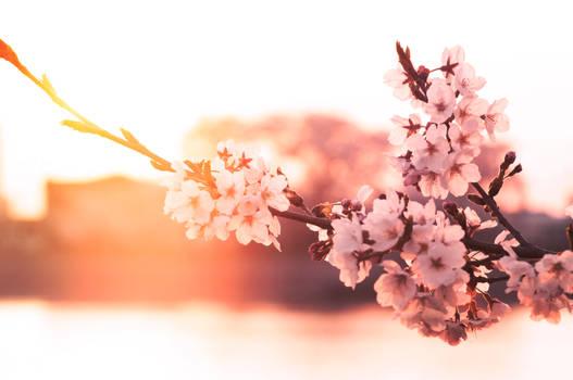sakura evening sun