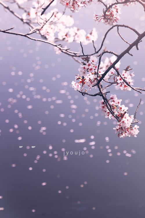 black give way to blue - sakura by jyoujo