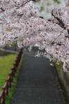 while it all falls down - sakura