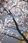 Sunshine Paris - cherry blossoms
