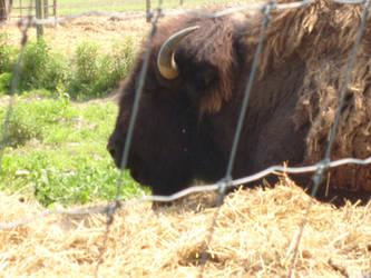 North American Bison by Blazer44266